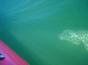 Kayak or swim with seals